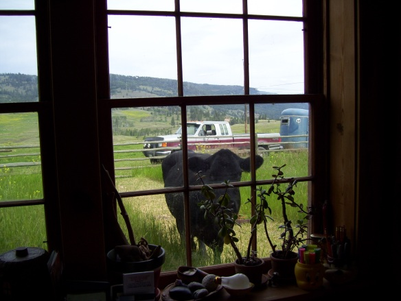 Our first encounter with the bovines... Black Cow peeking in the kitchen window.